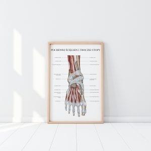 Anatomia mięśni stopy