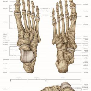 plakat anatomia kości stopy