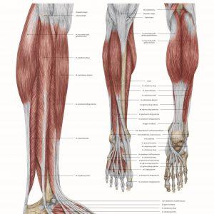 plakat anatomia mięśni goleni